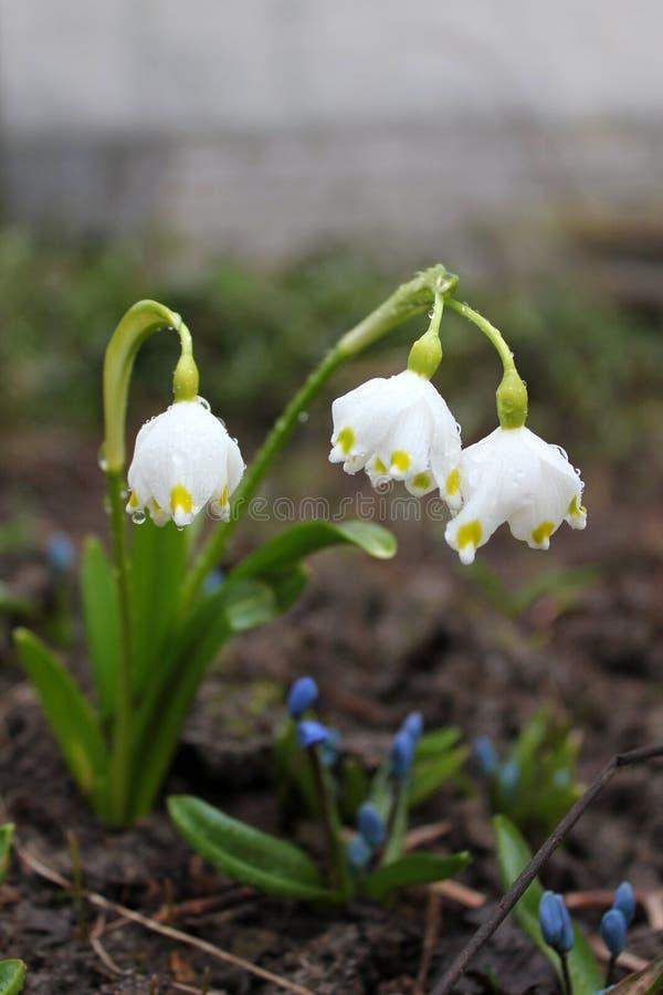 White flower Leucojum royalty free stock images