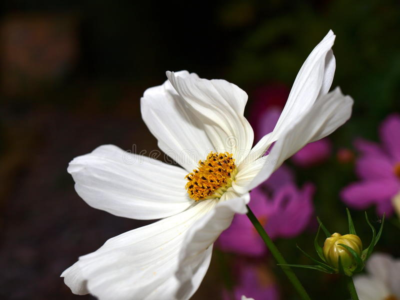 White flower. Location uk gloucestershire , size 3648 2736, e-420 camera , 100 iso royalty free stock photo