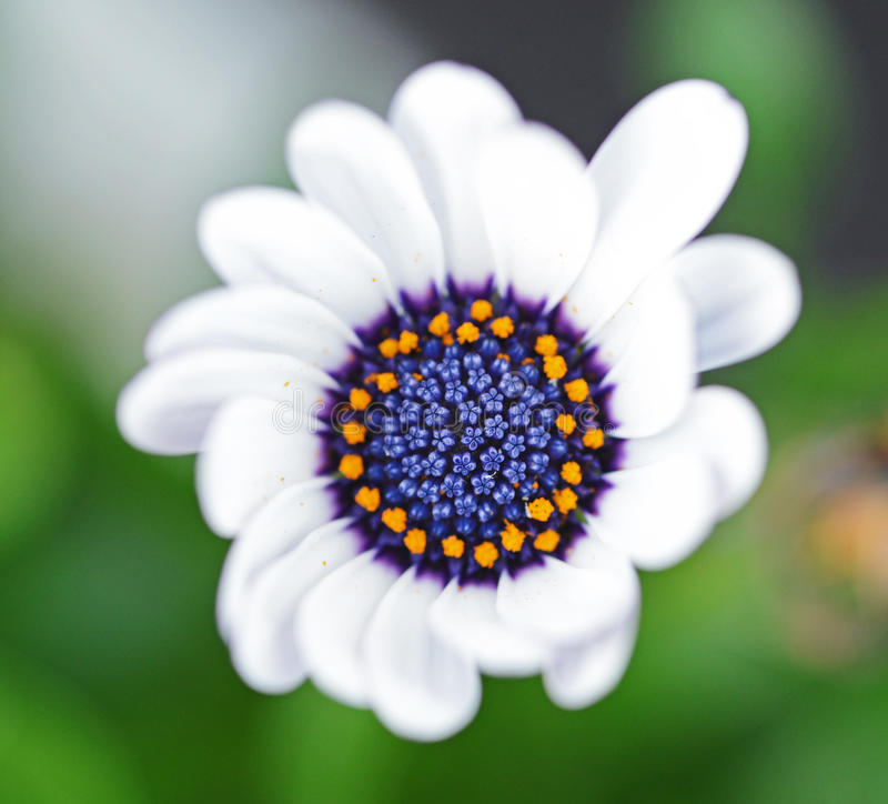 White flower. Macro of a beautiful white and purple flower stock photography