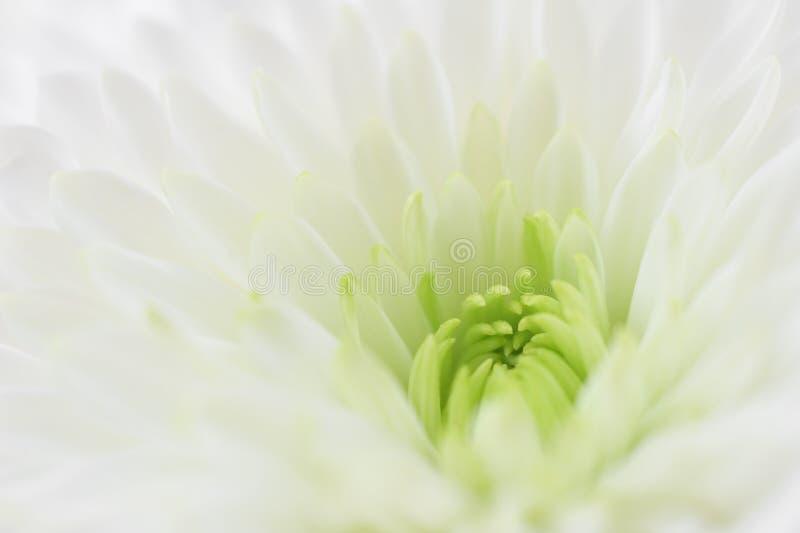 White flower macro. White chrysanthemum close up. Macro image with small depth of field stock photo