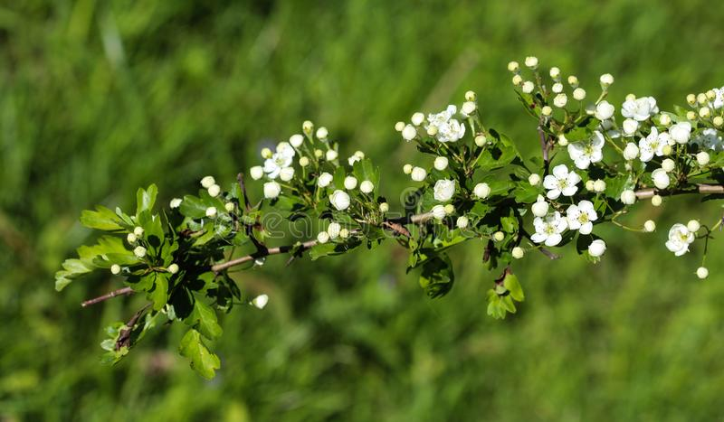 White flower of midland hawthorn, English hawthorn (Crataegus laevigata) blooming in spring royalty free stock photo