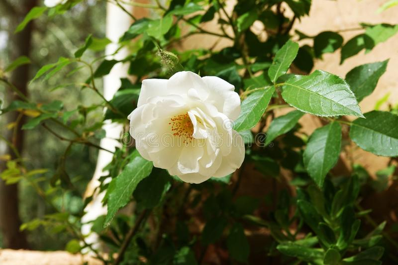 White flower in Morocco, in the desert, in Africa royalty free stock images