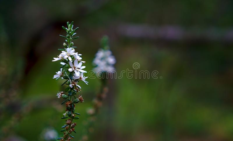 White flower with natural blurred background. White flower with another one blurred in background symbolizing stolen identity royalty free stock photos