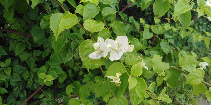 White flower nature greenery plantation royalty free stock photography