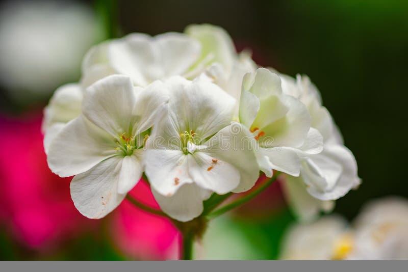 White Flower in nature. Macro stock photos
