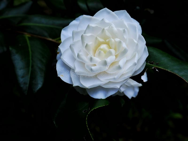 White flower. Naturel whit Camellia flower with leafs stock photography