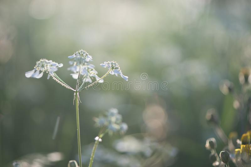 White flower on nice green bokeh and natural landscape in sunset lights stock photography