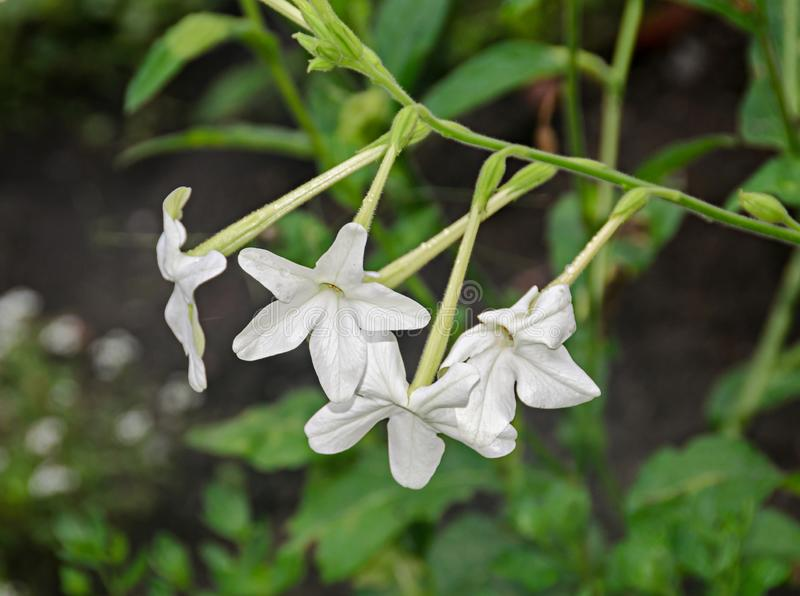 White flower Nicotiana alata Regina Noptii, green branch, close up.  royalty free stock images