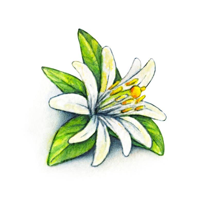 White flower orange fruit with green leaves. Orange blossom on a white background. Orange tree flower handwork. Watercolor drawing royalty free illustration