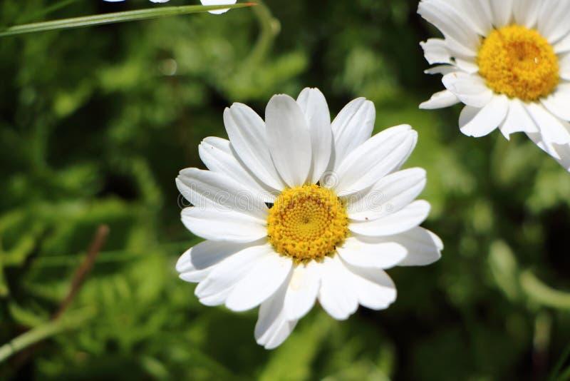 White flower of oxeye daisy. In a garden royalty free stock photos