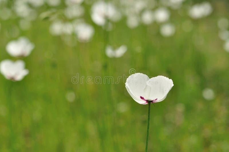 White flower Papaver dubium subsp. austromoravicum stock image