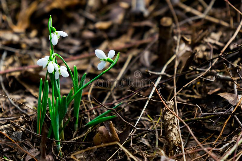 White flower peeking through the floor of a wooded forest stock image