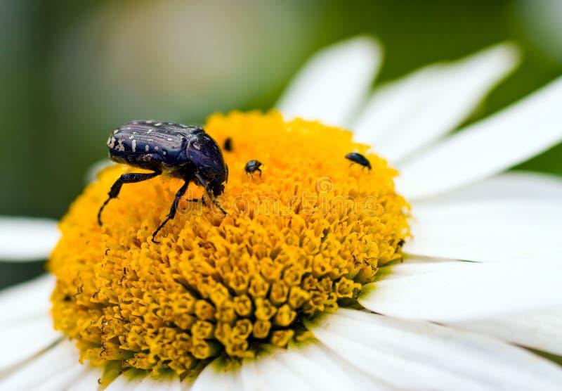 White flower petal with beetle. Beetle ( Latin - Oxythyrea funestra ) on a daisy flower stock image