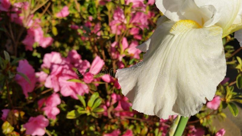 White Flower. Photo taken of a flower in the sunlight royalty free stock image