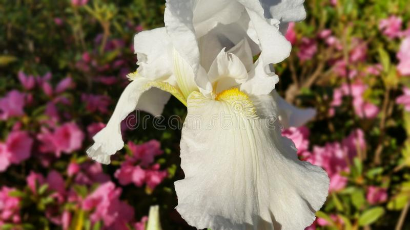White Flower. Photo taken of a flower in the sunlight royalty free stock photo