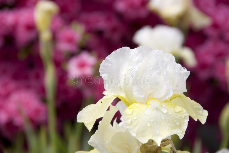 White flower pink background royalty free stock photo