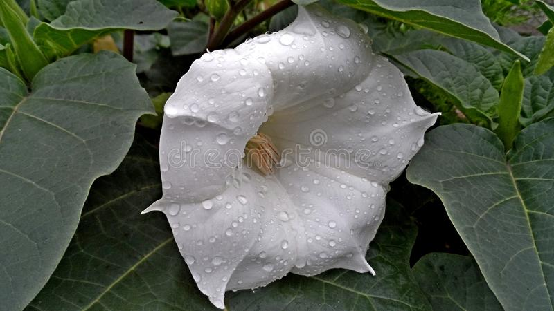 White, Flower, Plant, Datura Inoxia stock images