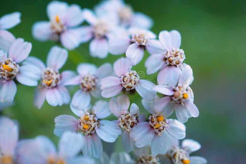 White flower plant in the garden in springtime. White flower in the nature stock image