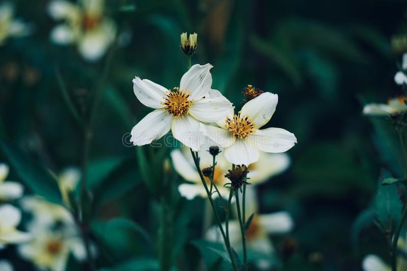 White flower plant in the garden in springtime. White flower in the nature stock photos