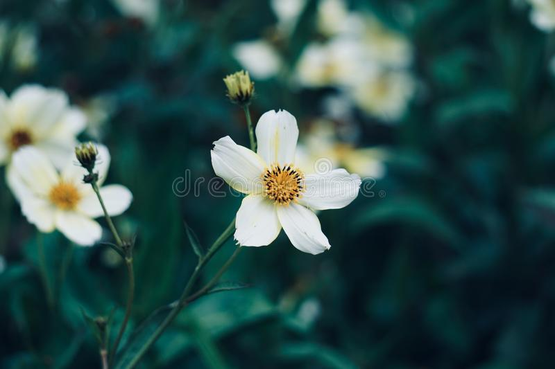 White flower plant in the garden in summer. Pink flowers in the nature royalty free stock image