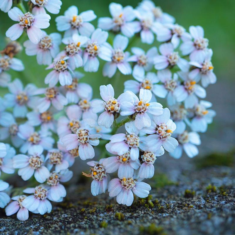 White flower plant in springtime. In the garden royalty free stock images