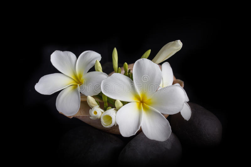 White flower plumeria or frangipani bunch in sea conch shell stock photos