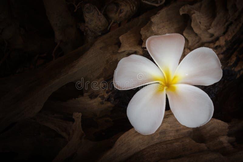 White flower plumeria or frangipani with dry stump royalty free stock photos