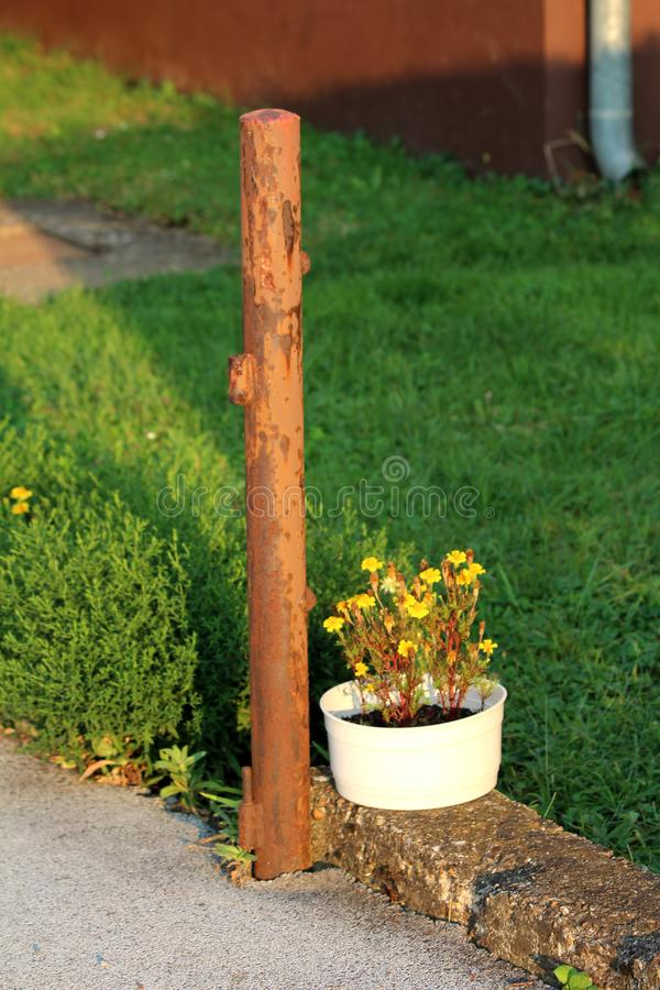 White flower pot with Mexican marigold or Tagetes erecta herbaceous annual plants planted next to rusted metal pole surrounded. White flower pot with Mexican royalty free stock photography