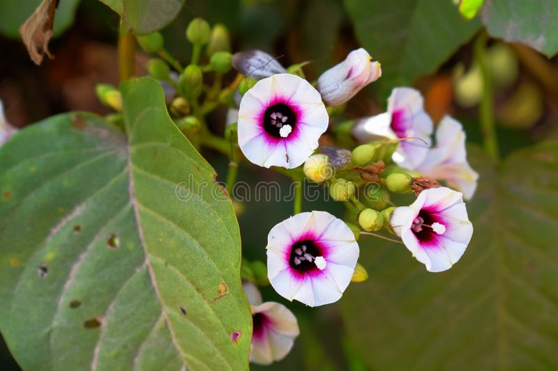 White flower with purple pollen in the garden royalty free stock photography