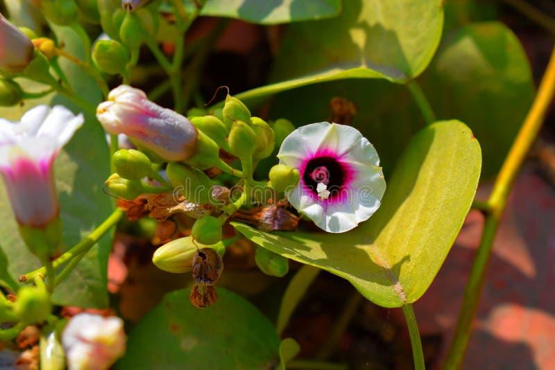 White flower with purple pollen in the garden stock photos