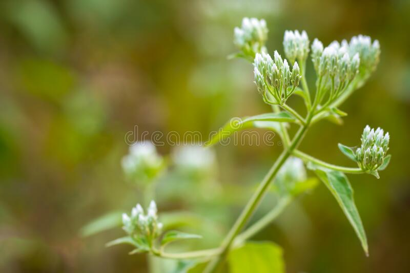 White flower of Siam weed or Bitter bush in tropical forest. Closeup and copy space. Concept of Herb stock photos