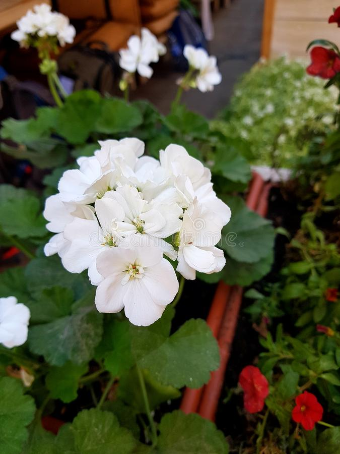 White flower. In the simple people call it Kolochik. Around the green leaves are round in shape. stock photo