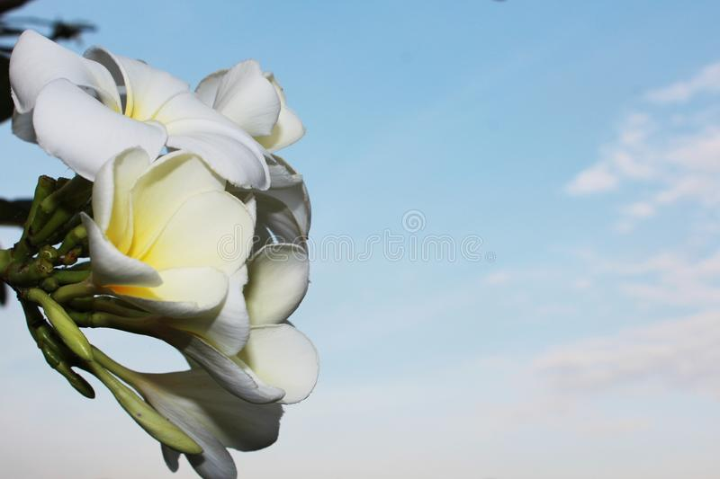 White flower on sky background. And copy space royalty free stock photos