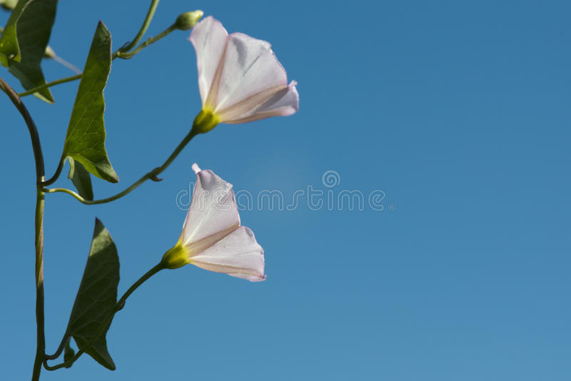 White flower on sky. Close up macro detail royalty free stock images