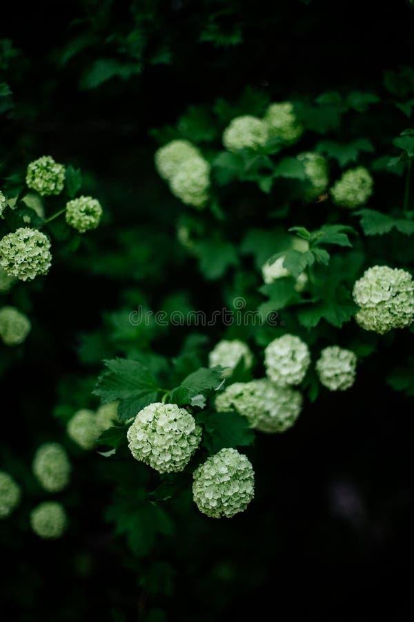 White flower of the snowball Buldenezh. stock photos