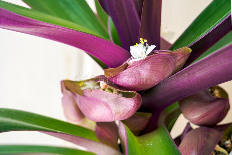 White flower of Tradescantia spathacea in bloom. Moses-in-the-cradle inflorescence stock photo