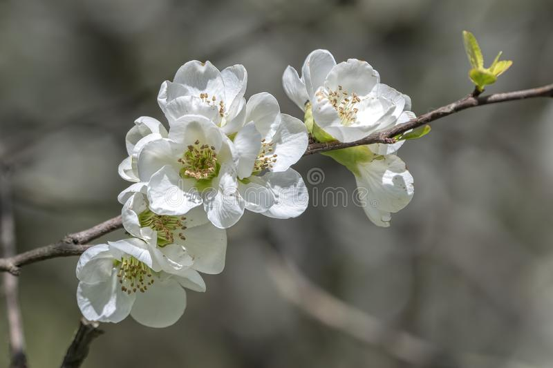 White flower on the tree royalty free stock image