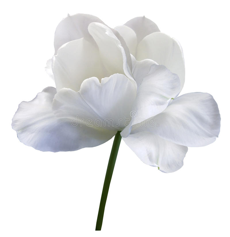 White flower tulip on white isolated background with clipping path. Close-up. no shadows. Shot of White Colored. Nature royalty free stock images