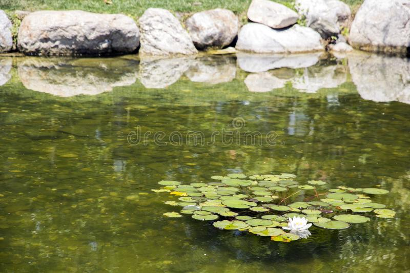 White flower water-lilies among the leaves. Reflection in the water of leaves royalty free stock photography