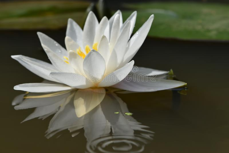 White flower of water lily on a smooth surface royalty free stock photo