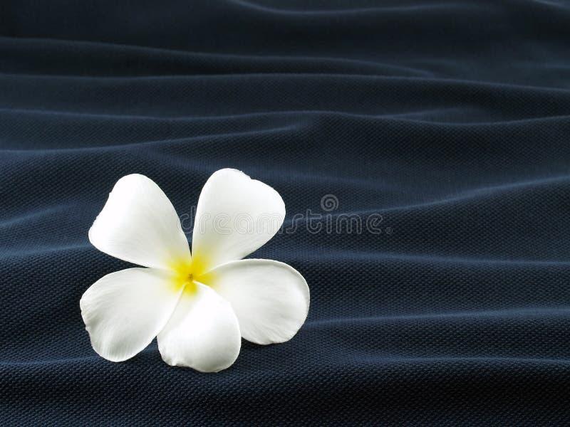 Close-up single white frangipani or plumeria flower on wave of dark blue fabric. Single white frangipani or plumeria flower on wave of dark blue fabric, like stock images