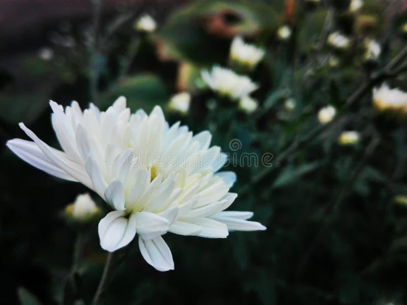 White flower. Whiteflower detail nature garden flowergarden stock photography