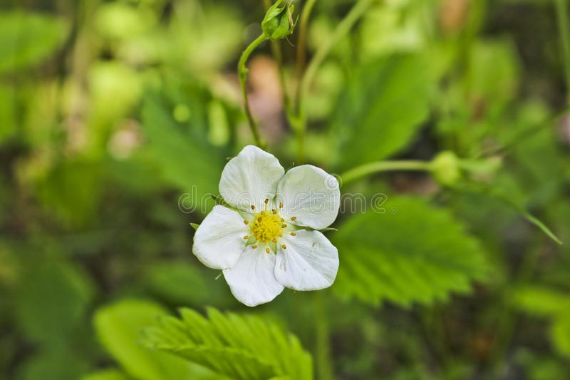 White flower wild plant strawberry forest on a blurred green background. royalty free stock photo