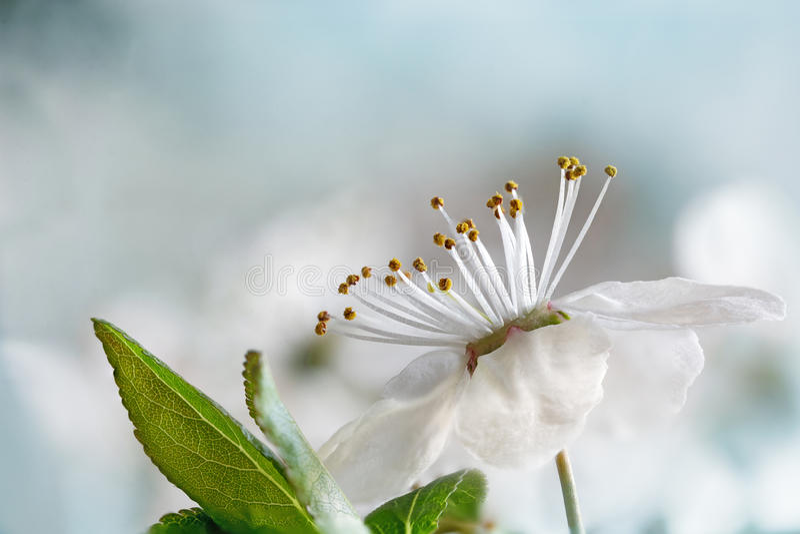 White flower of the wild plum, macro shot against soft backgrou stock photos