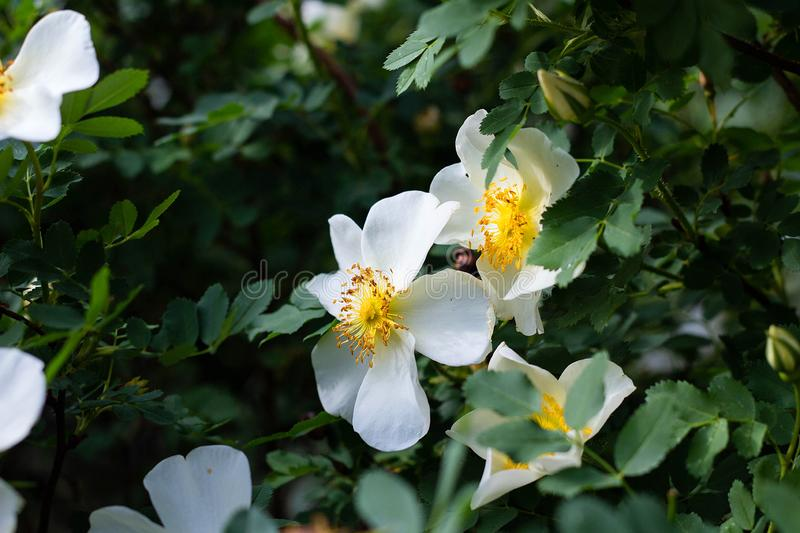 White flower wild rose on a background of leaves blooms in the garden, springtime, close-up. White beautiful flower wild rose on a background of leaves blooms in royalty free stock photo