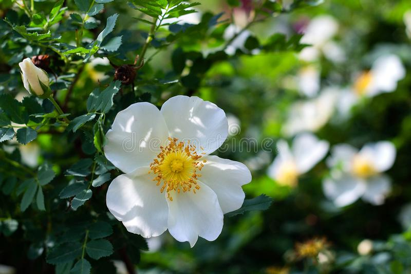 White flower wild rose on a background of leaves blooms in the garden, springtime, close-up. White beautiful flower wild rose on a background of leaves blooms in royalty free stock photography