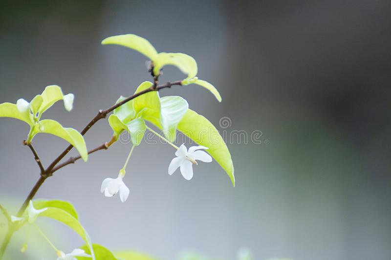 White Flower Wrightia Religiosa Benth With Beautiful Bokeh Background.  stock photography