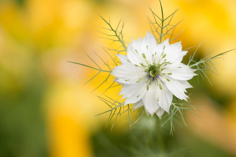 White flower on a yellow background. Selective focus. The flower of the nigella. stock photos