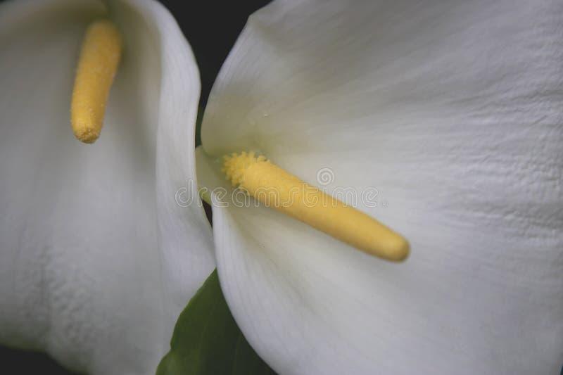 White flower and yellow stamen kew botanical gardens London stock images