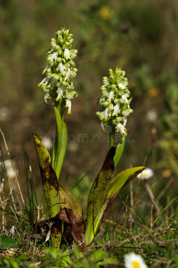 White flowered Giant Orchid plants - Himantoglossum robertianum stock photo
